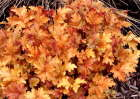 Heuchera Amber Waves